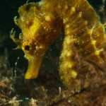 sea horse while diving in Malta