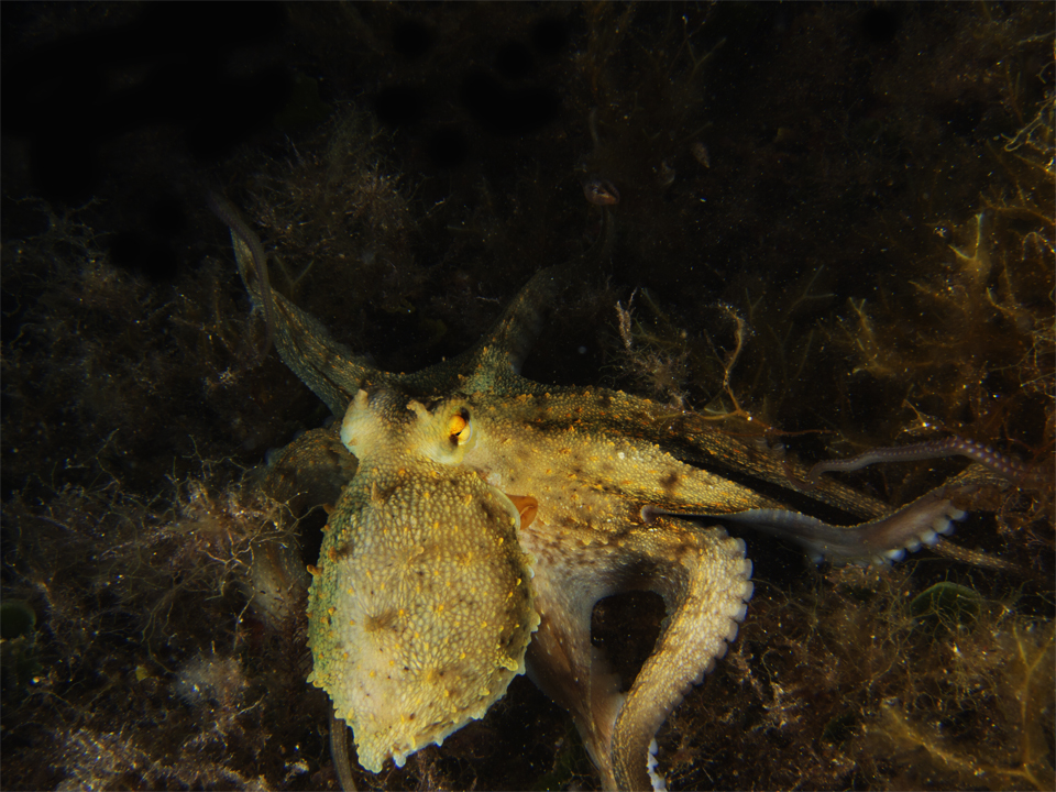 octopus in malta